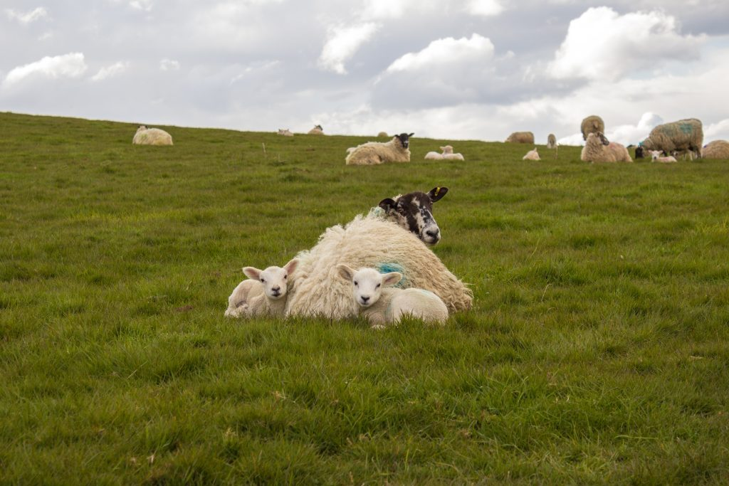 Spring Lambs 2016