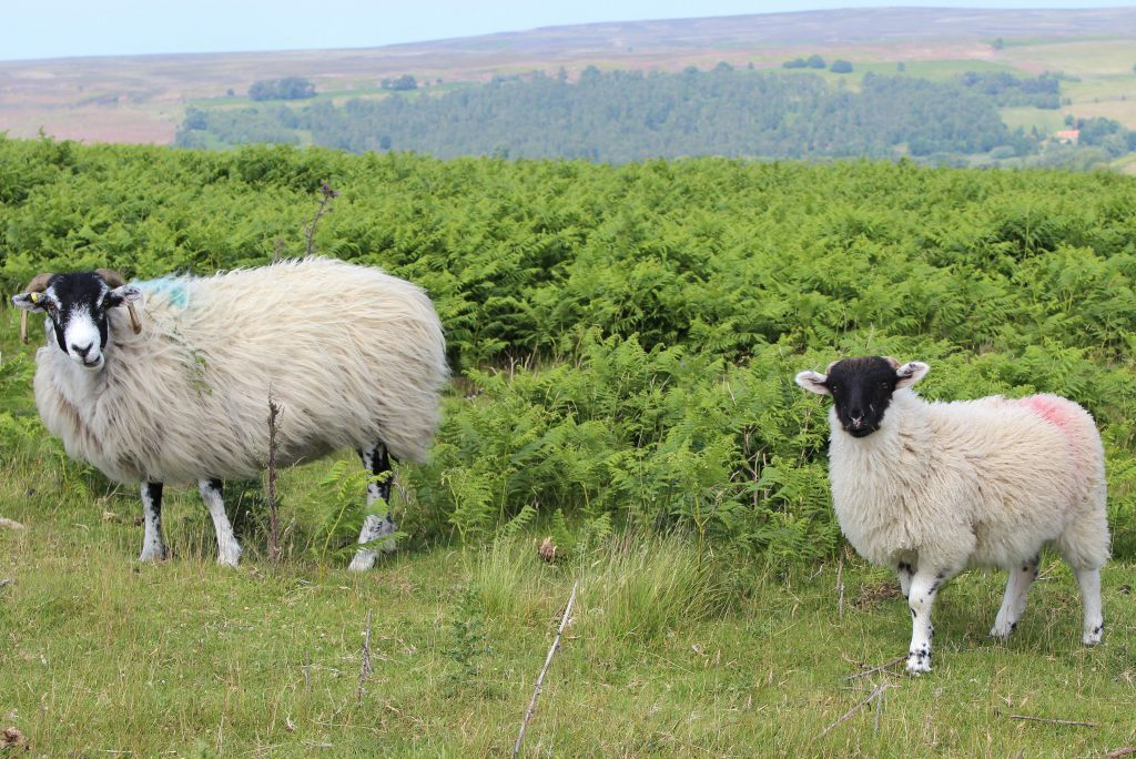 Scottish-Black-Faced-Sheep-North-Yorkshire-Moors