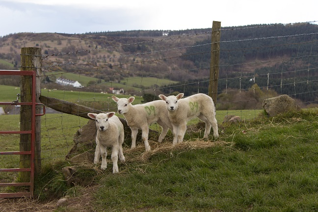 Spring Lambs at Aireyholme Farm, Roseberry Topping