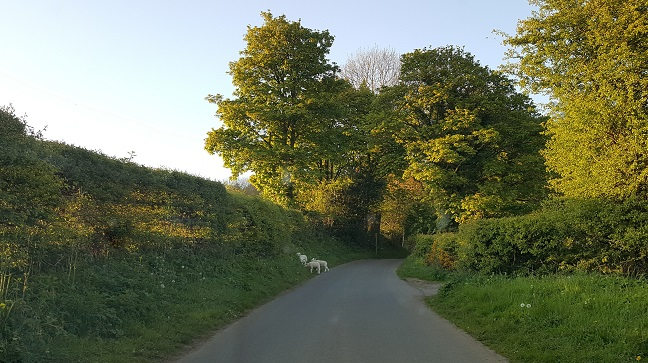 Aireyholme Lane, watch out for escapee lambs up to mischief!
