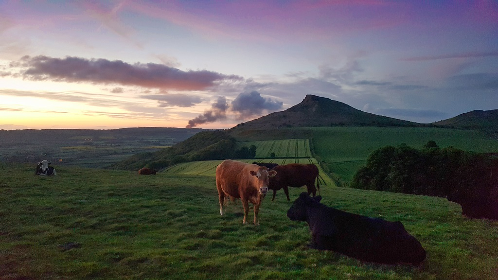 Roseberry Topping Sunset Cows