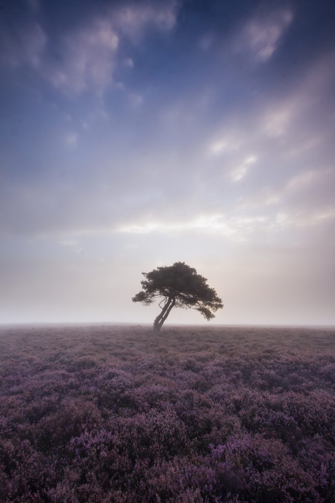 North York Moors Heather Bloom - A misty morning at the Lone Tree on Egton High Moor.