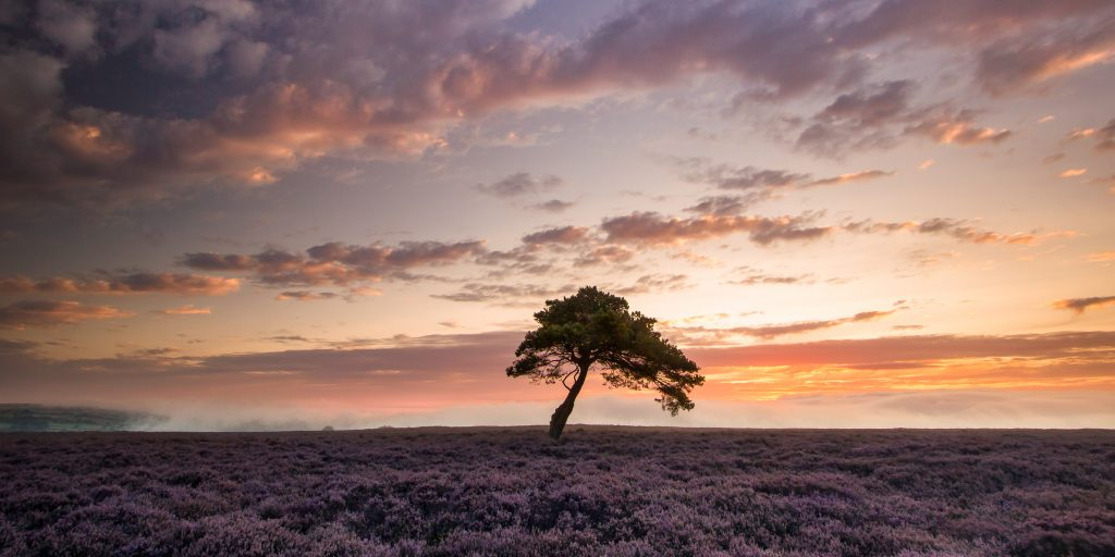 North York Moors Heather Bloom - A misty sunrise at the Lone Tree on Egton High Moor.