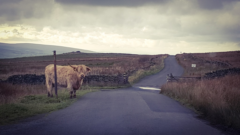 Yorkshire Dales Highland Cow